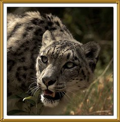 PERSIAN LEOPARD (Recycled Teenager (NORFOLK IMAGES)) Tags: cats wildlife leopard santago persianleopard specanimal shieldofexcellence