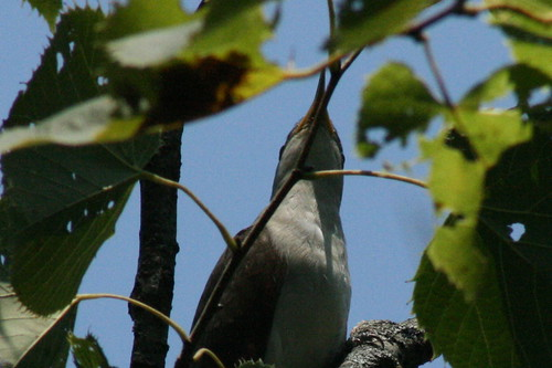 Yellow-billed Cuckoo (Closeup)