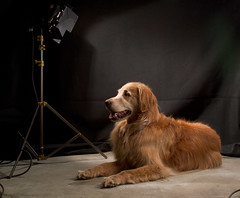 Shane Poses (r o s e n d a h l) Tags: dog goldenretriever golden shane retriever photoblog
