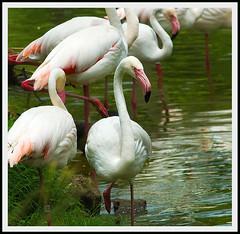 Flamingos of Florida (Bryan Salzman) Tags: park pink vacation nature birds animals tampa landscape zoo bay florida flamingos fl lowry