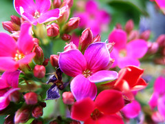 Shades of Fuchsia (Jason A. Samfield) Tags: pink flowers red plant abstract flower color macro green nature colors beautiful beauty composition contrast happy petals amazing colorful neon pretty dof purple bright gorgeous perspective fuchsia happiness depthoffield petal hues greens pinkflower bloom colored bouquet brightcolors blooms multicolored reds asymmetry supermacro hue depth asymmetrical purpleflower multicolor redflower pinkish pinks springtime purplish delightful redflowers blooming purpleflowers reddish flowerpetals pinkflowers darkgreen contrasted purples bloomed flowerpetal fuchsias prettybeautiful fuchsiaflower fuchsiaflowers fuchsiacolor fuchsiacolored fuchsiahue fuchsiahues fuchsiacolors fuchsiacoloredflower fuchsiacoloredflowers