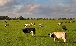 Hollands landschap met koeien - Dutch landscape with cows