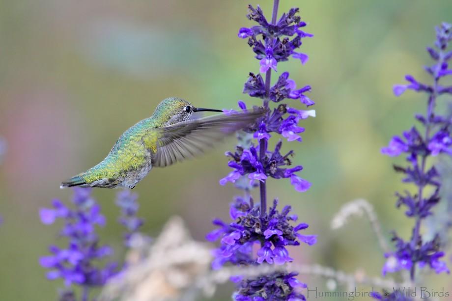 Anna's Hummingbird 110710-4