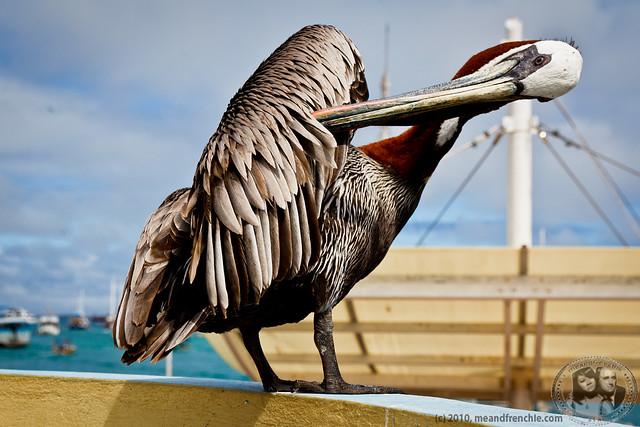 Pélican Des Galápagos