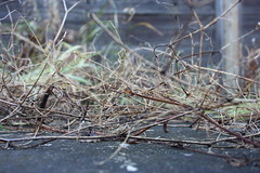Winter (andgreyskies) Tags: winter garden grey frost pavement coventry twigs earlsdon