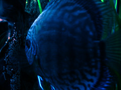 blue fish eggs moonlight discus