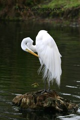 Great Egret Series Vertical 2