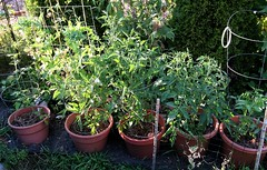 Raised Pot Tomatoes