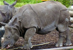 Baby Rhino2 (The Mucker) Tags: animal rhino edinburghzoo