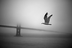 Misty Morning in SF (Luis Montemayor) Tags: sanfrancisco bridge sea vacation blackandwhite usa bird blancoynegro puente mar fly explore ave goldengate frontpage stratus vuelo mywinners adoublefave