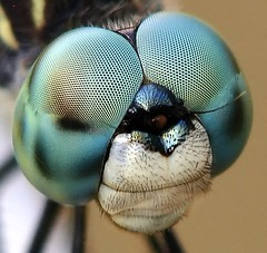 """All Right Mr. DeMille, I'm Ready For My Close-Up"" (Dixie Native) Tags: macro nature animal insect dragonflies dragonfly insects insecte insectes libellule odonata naturesfinest libellules odonate instantfave odonates specanimal animalkingdomelite worldbest shieldofexcellence anawesomeshot specanimaliconoftheweek impressedbeauty specinsect diamondclassphotographer excellentphotographerawards eliteimages buzznbugz natureoutpost thatsbostin"