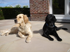 Valas and Eiko (eikootje) Tags: dog sun goldenretriever golden lab sister brother hond retriever blacklab servicedog labradorretriever brotherandsister eiko retired zon tanning sunbathing broer zus blacklabradorretriever blacklabrador assistancedog blueribbonwinner iluvmydog zonnen zonnebaden hulphond broerenzus assistentiehond gepensioneerd valas oppensioen onretirement