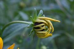 Emerging Black Eyed Susan (pzammikiel) Tags: flower yellow wildflower blackeyedsusan