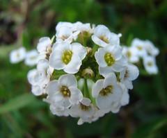 Tiny Allysum..... (sallysue007) Tags: white flower macro eye tiny naturesfinest allysum flowerotica superbmasterpiece wowiekazawie empyreanflowers worldsbestdazzlingshots everydayissunday theperfectphotographer