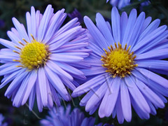 Aster (Ashley1954) Tags: flower purple asteraceae aster naturesfinest asternovaeangliae platinumphoto excellentsflowers