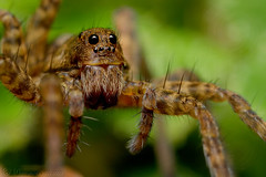 Pardosa sp. (femelle) 3 (Haentjens Raphal - Macropixels) Tags: macro nature up animal closeup canon eos spider close belgium belgique spiders arachnid ardennes e mp arthropods animalia arthropoda 65 2007 araigne arachnida raphal macrophotography wallonie macrography araneae arachnide mpe  vielsalm mpe65   chelicerata eukaryotes bilateria ecdysozoa macrophotographie arthropode  eukaryota xti 400d macrographie salmchateau haentjens macropixels  protostomia bilaterians wwwphotomacrobe macrolife salmchteau protostomes ecdysozoans panarthropoda mpe65mmf281x5x ccmpspider micrura myriochelata myriochelatans arachnomorpha cheliceriformes euchelicerata      canonmpe65mmf2815xsupermacro