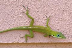 Cuban Green Anole, Anolis porcatus (Burnt Umber) Tags: urban green female reptile explorer lizard mating anole lagarto reptiles ue lézard reptil urbex lucertola eidechse rettile anoliscarolinensis ©allrightsreserved flurbex cubangreenanole anolisporcatus rpilla001