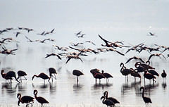 dusk on Lake Nakuru.. ('Carmen' {catching up!}) Tags: africa pink shadow lake reflection water dof kenya bokeh dusk feathers flamingos depthoffield safari lakenakuru pinkplumage