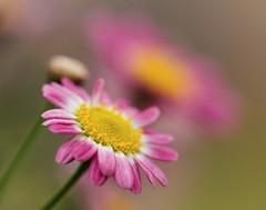 Daisy (_Maji_) Tags: nikon daisy oakmountainstatepark photosandcalendar nikond300 excellentsflowers natureselegantshots wonderfulworldofflowers 100commentgroup panoramafotogrfico flickrsportal