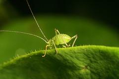 "Juvenile Speckled Bush Cricket (Lepto(3) • <a style=""font-size:0.8em;"" href=""http://www.flickr.com/photos/57024565@N00/551834893/"" target=""_blank"">View on Flickr</a>"