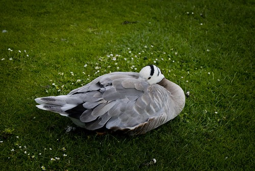 Duck, Kew Gardens