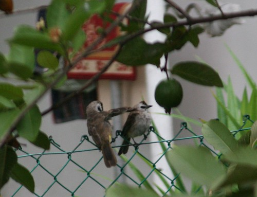 Bulbuls by guava tree (1a)