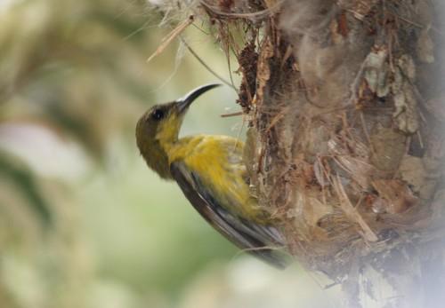 Sunbird feeding01