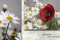 entre margaritas (Rosa Tom) Tags: flores blanco rojo margaritas composicin amapola