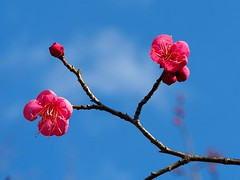 Japanese plum blossoms () (Greg Peterson in Japan) Tags: flowers plants japan shiga jpn plumblossoms yasu shigaprefecture rittocity