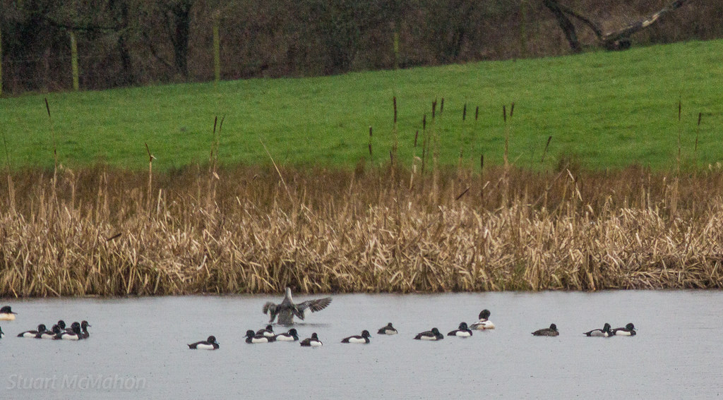 031 - Quackers