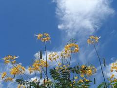 32/366 Heaven (JessicaBelotto) Tags: flowers flores planta branco azul heaven day foto ar natureza flor dia paisagem céu days honey nuvens ao fotografia projeto livre manha fotografando amarelas fotografico 366 366daysofhoney 366diasnoano