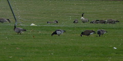 Barnacle Goose with Cackling Goose and two hybrid geese (Dendroica cerulea) Tags: winter birds newjersey nj waterbird aves goose waterfowl hybrid canadagoose brantacanadensis barnaclegoose brantaleucopsis branta anatidae anseriformes thompsonpark monroetownship middlesexcounty neornithes cacklinggoose brantahutchinsii anserinae neognathae galloanserae carinatae