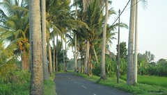 Im Bezirk Ubud - Kokos-Palmen-Allee (Cocos nucifera); Bali, Indonesien.jpg (8) (Chironius) Tags: trees bali tree indonesia rboles boom arbres rbol albero bume arbre rvore baum trd indonesien aa   arecaceae arecales  kokospalme cocosnucifera palmenartige palmengewchse commeliniden