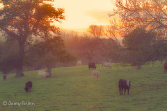 Cow Mist (JKmedia) Tags: autumn trees sunset sky mist field landscape evening cow late nationaltrust bovine grazing 2015 saltram boultonphotography