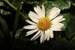 A little flower (Felix_65) Tags: flowers verde green sony cybershot daisy fiori fiore margherita dsch3