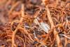 Ant sheltering grub. (David Ball.) Tags: singapore ant hymenoptera canon270ex