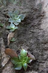 Dudleya (kimberlygaye67) Tags: angelesnationalforest dudleya switzer