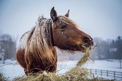 hay burner (Jen MacNeill) Tags: winter horses horse snow cold weather animal pennsylvania snowy pa snowing hay farn equine mane rockymountainhorse mountainhorse