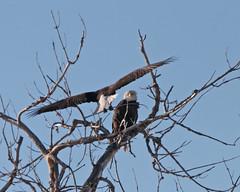 Bald Eagle 7399 (frank.kocsis1) Tags: colorado adult baldeagle adamscounty matingpair coloradowildlife frankkocsis seealbumformorephotos