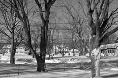 Day After Storm Jonas  15 - Stand Tall (George - with over 2 mil views - THANKS) Tags: winter usa snow monochrome us blackwhite newjersey unitedstatesofamerica snowstorm january mercercounty ewing winterscene acdseepro suburbanscene photogeorge nikond750