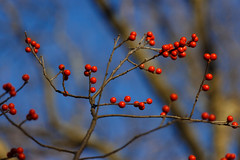 Winterberries (trochford) Tags: blue winter red usa color tree canon ma berry colorful december branch berries exterior bokeh outdoor lexington massachusetts branches winterberry ilexverticillata