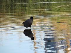 Duck (Shalva1948) Tags: nature birds israel ducks