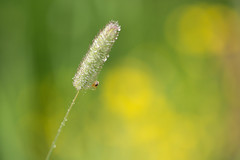 DoF (derliebewolf) Tags: summer macro suomi finland spider finnland dof rainyday bokeh natur blumen grün d600 fllower 105mmf28dmicro