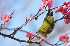 Japanese White-eye (myu-myu) Tags: bird nature japan nikon japanesewhiteeye zosteropsjaponicus d800  japaneseapricot  wildbird    afsnikkor300mmf4epfedvr