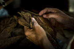 _62A0864 (gaujourfrancoise) Tags: cuba carribean tabac cigars tobacco cigares carabes tobaccoleaves feuillesdetabac gaujour