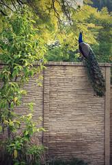 high wall (cookiepuss76) Tags: peacock malebird peacocktail arcadiaarboretum decorativebird highonawall