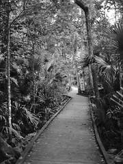 Park walk (nrparsons) Tags: park trees blackandwhite bw plants 120 film nature outdoors blackwhite 645 state pentax walk shade boardwalk kodaktx wekiwasprings 75mmf28