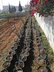 Des oliviers en pot (Citizen59) Tags: north ghar el pot pots february nord tunisie fvrier oliviers 2016 melh
