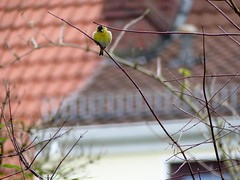 Thank you very much... (BrigitteE1) Tags: city blue winter red white house tree green bird animal yellow germany garden de europe bremen siskin thankyouverymuch