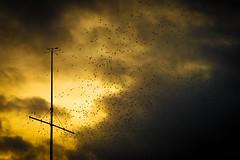 Starlings taken flight at Aberystwyth (technodean2000) Tags: sunset sea sky seascape west water birds silhouette wales landscape pier seaside nikon glow outdoor flight royal aberystwyth take serene starlings lightroom d610 photoscape d6100